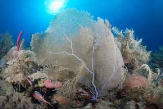 Caribbean Sea, Indo-Pacific Ocean, coral reef, evolution, ecology