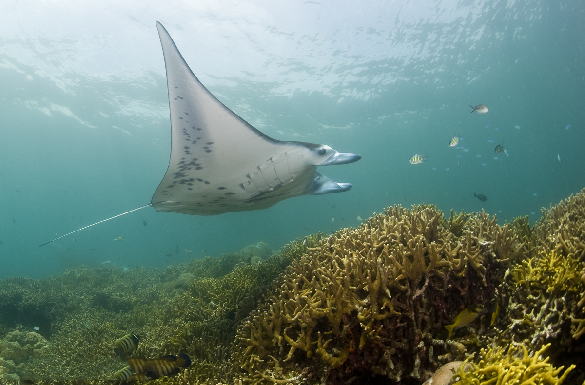 manta ray, conservation, Peru, biology, marine science, education