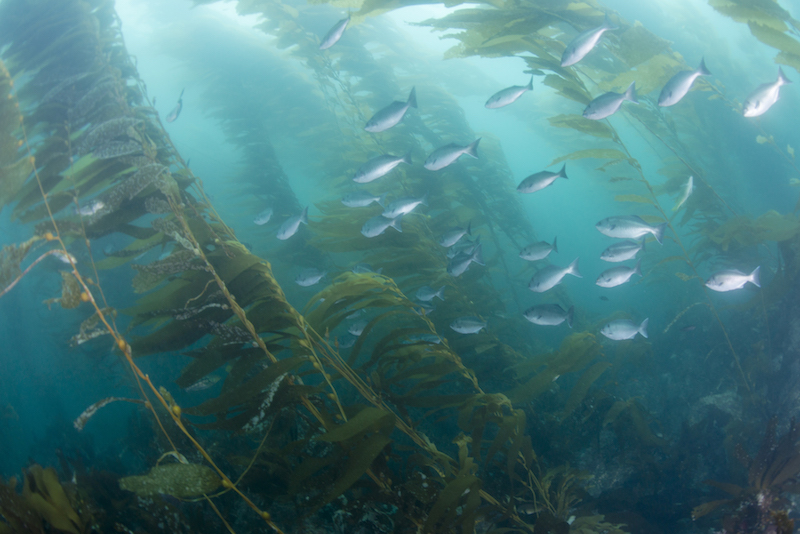 anacapa, mpa, kelp forest, conservation, marine science