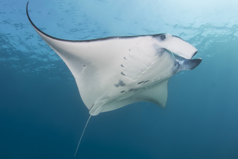 CITES, COP17, conservation, marine science, sharks, rays