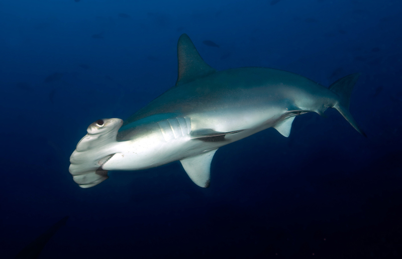 sharks, hammerhead, conservation, diving, marine science