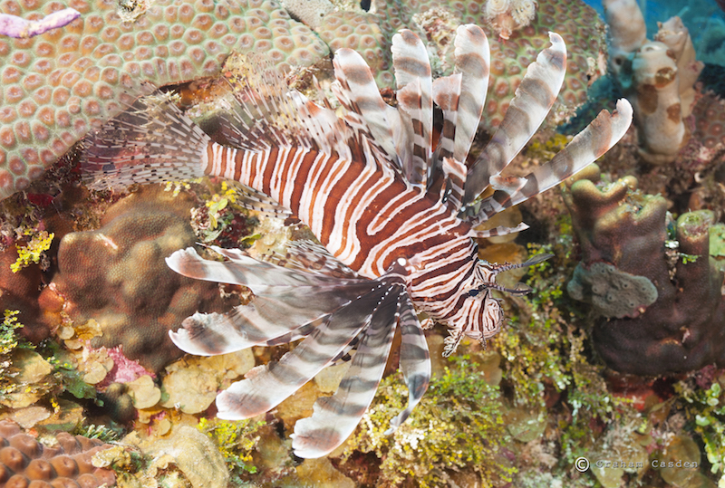 lionfish, invasive species, caribbean, marine science, conservation
