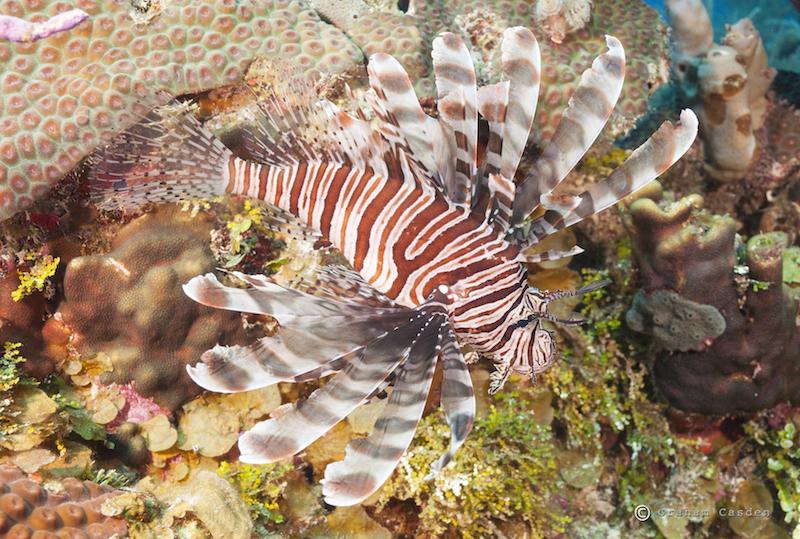 lionfish, invasive species, caribbean, marine science, conservation