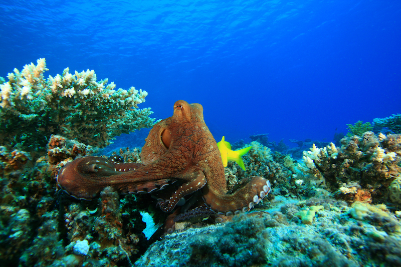 octopus, mollusks, marine science, education, scuba, diving