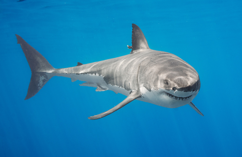 shark, white shark, conservation, not fear, education, marine science
