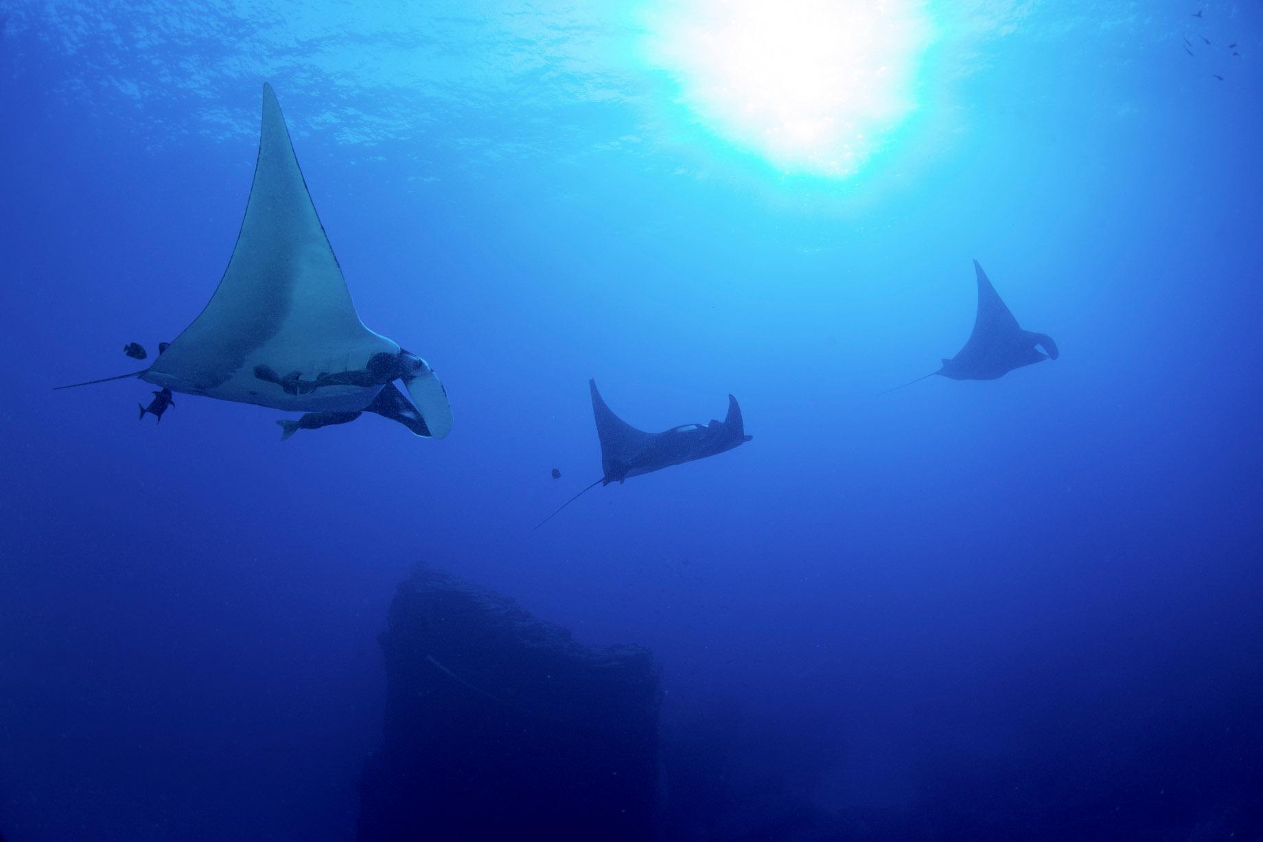 Manta and Ray Ecology