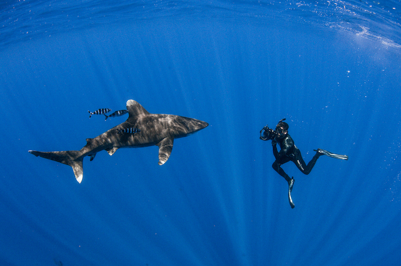 Measuring oceanic white tips.