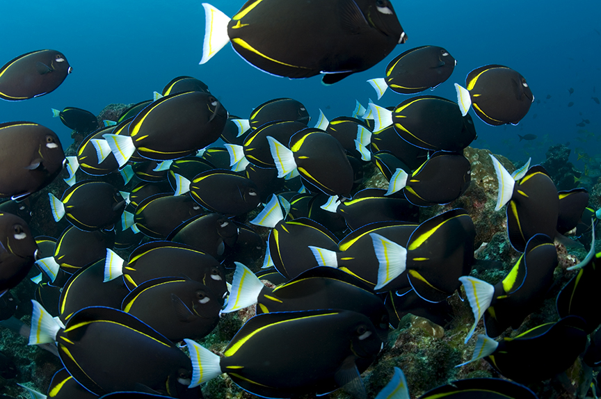 School of surgeonfish.