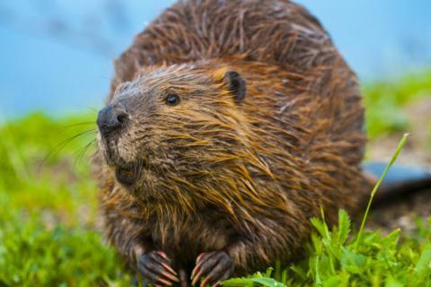Beaver Ecology