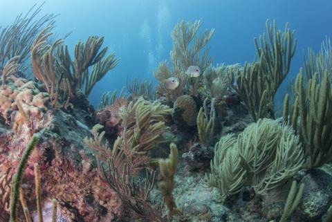 Natural History of Caribbean Corals