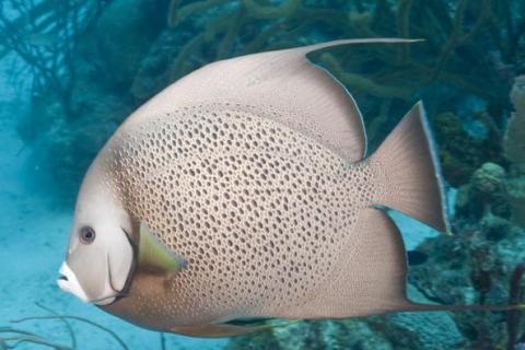Caribbean Fish Identification
