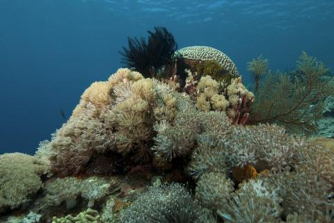Natural History of Indo-Pacific Coral