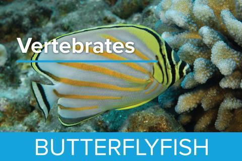 Butterflyfish - Guy Harvey Edition