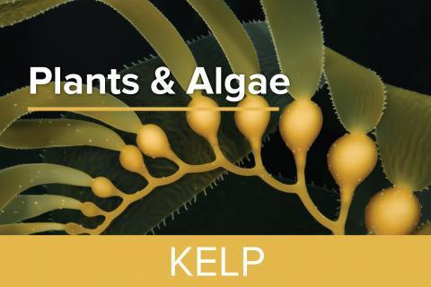 Kelp - Guy Harvey Edition