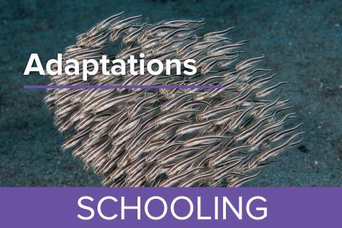 Schooling - Guy Harvey Edition