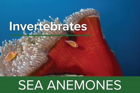 Sea Anemones - Guy Harvey Edition