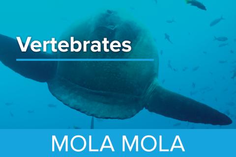 Mola Mola - Guy Harvey Edition