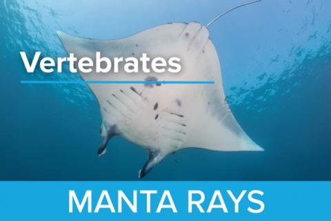 Manta Rays - Guy Harvey Edition