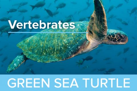 Green Sea Turtles - Guy Harvey Edition