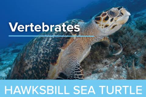 Hawksbill Sea Turtles - Guy Harvey Edition