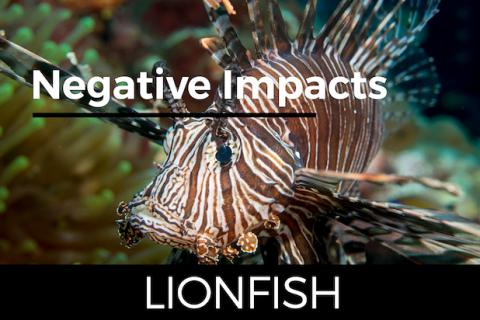 Lionfish, Invasive Species
