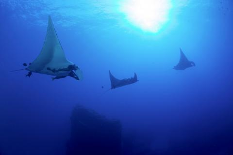 Manta and Ray Ecology
