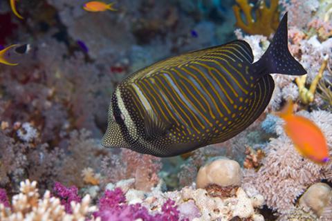 Red Sea Fish Identification