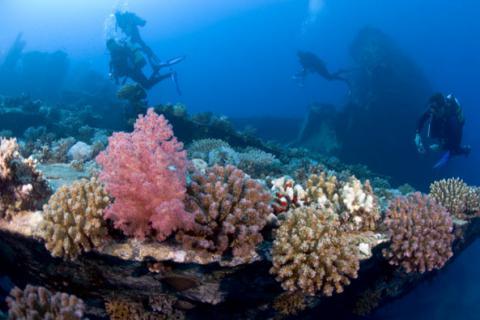 Natural History of Red Sea Coral